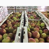 Свежие яблоки оптом из Белгородской области