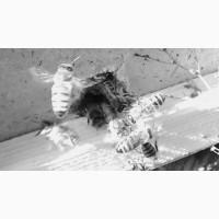 Пчелопакеты пчелы отводки Карпатка Карника Пчеломатки Санкт-Петербург 2021 год