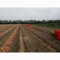 Лук репчатый оптом от фермера с поля