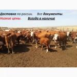 СТАДО Казахские белоголовые телки, нетели.Доставка