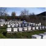 Продаю плодные матки породы бакфаст (F1), Крым
