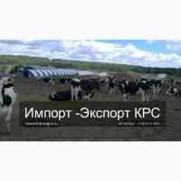 Оптовая Продажа КРС Молочного направления с доставкой по РФ и СНГ! Полный пакет документов