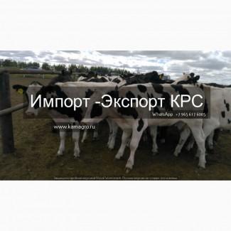 Продажа КРС живым весом по Россий и СНГ с доставкой