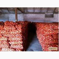 Продаем лук оптом от производителя Беларусь