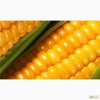 Cемена гибридной кукурузы от производителя