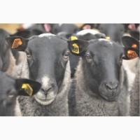 Племенные ярки (овцы) романовской породы