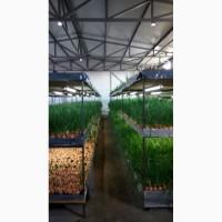 Лук зелёный, своё хозяйство, опт (до 5 тонн)