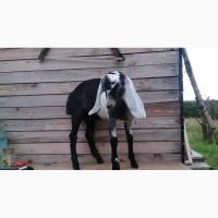Козы англо-нубийские, козлята