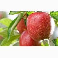 Куплю яблоки калибр 55-60