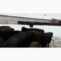 Тёлочки крс коровы мясная порода