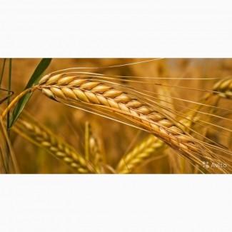 ООО НПП «Зарайские семена» на постоянной основе закупает фуражное зерно: ячмень