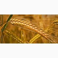 Фуражное зерно: ячмень от 60 тонн