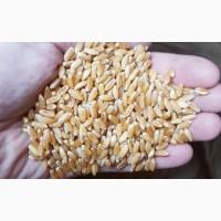 Семена пшеницы трансгенный сорт Канадская элита