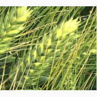 Семена озимой пшеницы сорт Диона ЭC agroastra