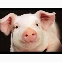 Свинина полутуши, головы, шкура заморозка, охлаждёнка