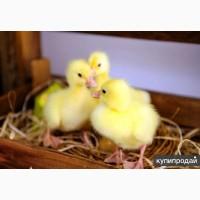 Яйцо утиное и гусиное, утка и гусь суточный молодняк