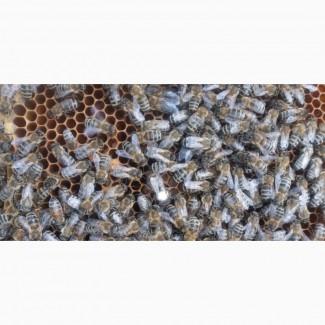Продам пчелопакеты карпатка