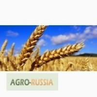 Закупаем Пшеницу 3.4.5 классов, кукурузу с места ЮФО -СКФО////