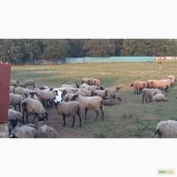 Продам романовских овец