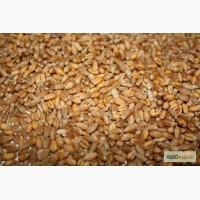 Пшеница фуражная оптом