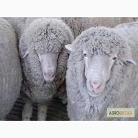 Бараны, овцы, ягнята(Куйбышевской породы