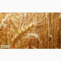 Семена озимой пшеницы сорт Гурт
