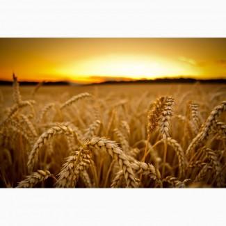 Семена мягкой пшеницы двуручки OSHAWA Канадский трансгенный сорт