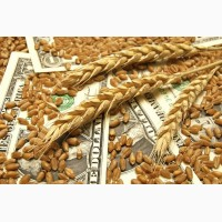 Семена пшеницы ЯРОВОЙ Канадский трансгенный сорт OSHAWA
