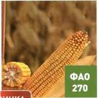 Семена гибридов кукурузы Ладожские. Ладожский 270 АМВ
