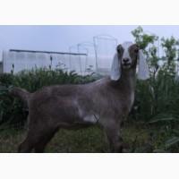 Нубийский козлик 94% от 100% нубийского супер козла Атланта