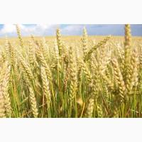 Фуражное зерно: пшеница