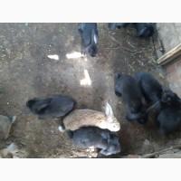 Продам крольчат оптом Французский баран 1, 5 мес и 2.5 мес