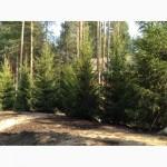 Продажа и посадка хвойных деревьев ели и сосны обыкновенной