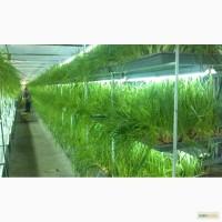 Перо зелёного лука