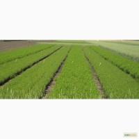 Семена чечевицы зеленой и красной РС-1