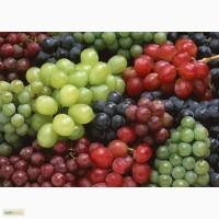 Виноград сортов Плевен и Молодова