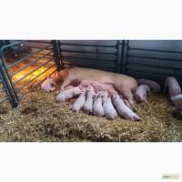 Свиноматка живая и в полутушах