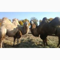 Продам племенных верблюдов калмыцкой породы