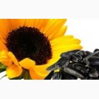 Семена подсолнечника (сорта масличные, крупноплодные)