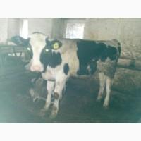 Продам бычков холмогорской голштинизиоованной породы от 90 до 250 кг