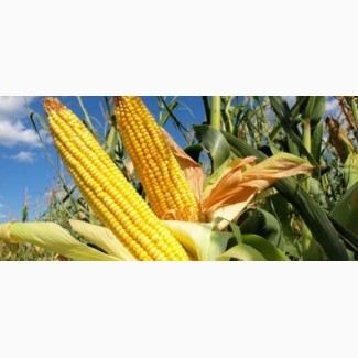 Фуражное зерно: кукуруза от 40 тонн