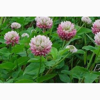 Продаем семена клевера гибридного розового