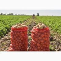Картофель оптом с поля от кфх. Урожай 2021