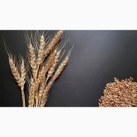 Семена озимой пшеницы Алексеич, Ахмат, Безостая-100, Гром, Еланчик, Таня, Юка и др