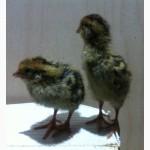 Перепела цыплята