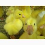 Гусята, муларды, бройлерные цыплята, Куры