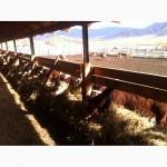 Реализую быков, бычков и телочек
