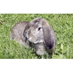 Продам Элитные кролики породы французкий баран