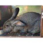 Кролики Русский Серый Великан и Немецкий Ризен
