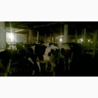 Дойные коровы 50 голов
